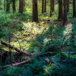 A photo of the forest floor with ferns and fallen small trees