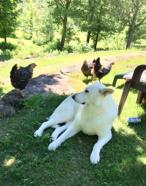 Sasha with hens 2018
