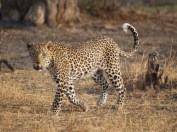 leopard_walking5