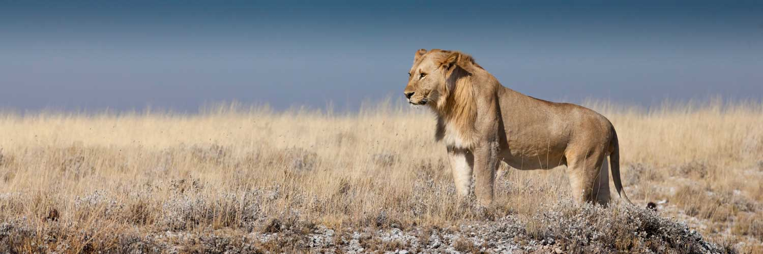 Male Lion standing at attention
