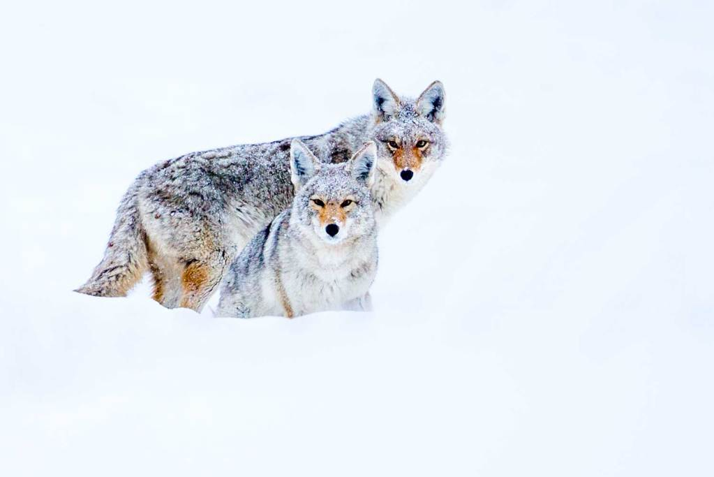 Two Coyotes in Yellowstone snow looking at the camera