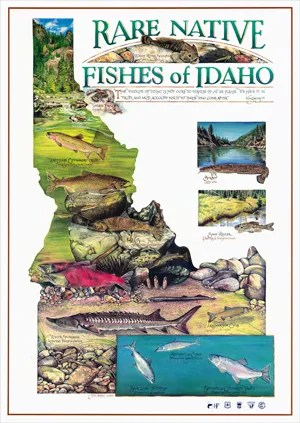Rare Native Fishes of Idaho poster design and watercolor illustration