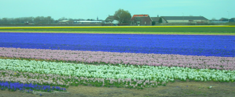 A kaleidoscope of color - Holland's Tulip Fields (2/6)