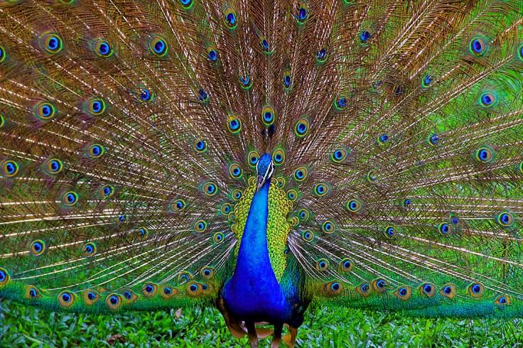 peacockws