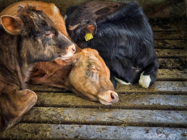 fauna, cows, Iceland