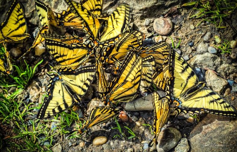 Fauna, butterflies, BC, Alaskan, Canadain TIger Swallowtail