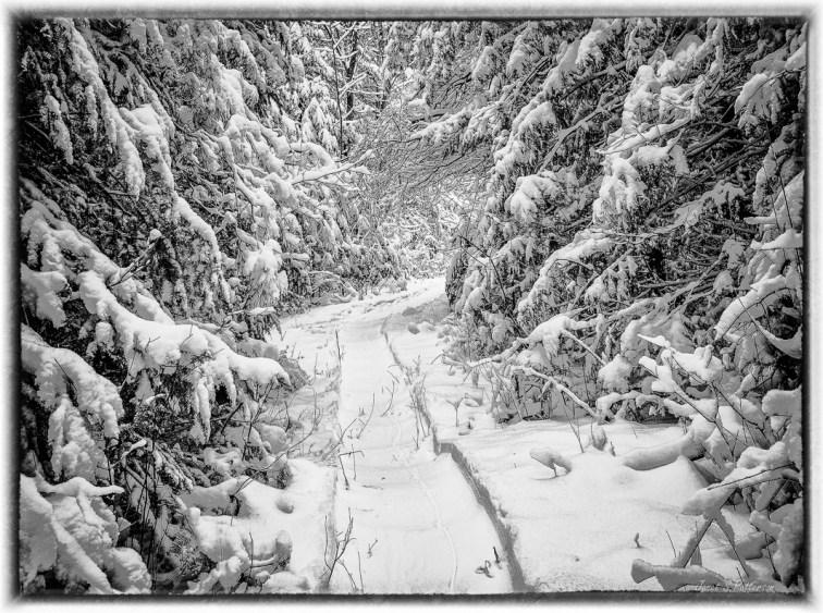 Winter, snow, trees, trails, B+W