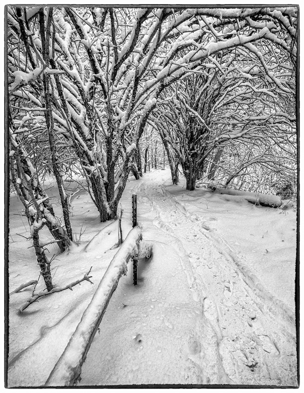 B+W, snow, trees, trails, fence, winter