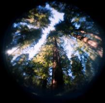 guerneville redwoods 1