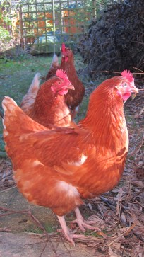 2 new hens with an old one: very healthy and absolutely gorgeous!
