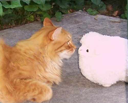 Marmalade cat meets a stuffed sheep
