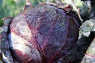 Tete Noire, red cabbage