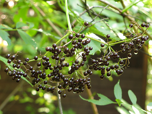 There will be no elderberry wine this year! (3/5)