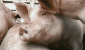 truck with pig