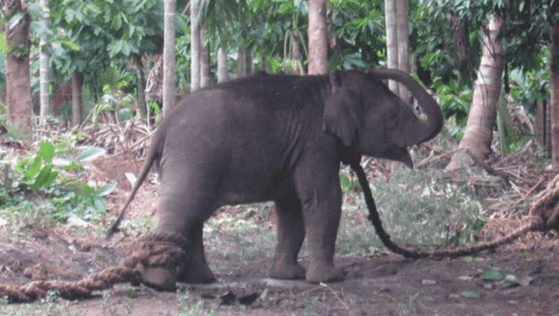Tourism = Torture for Indian and Asian Elephants!