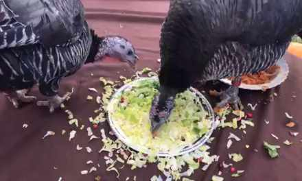 Turkeys Celebrate at Farm Sanctuary!