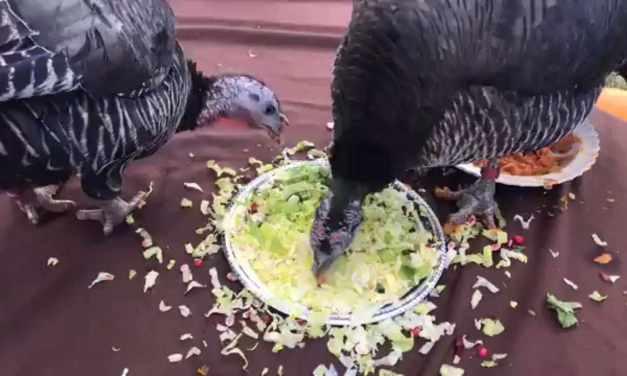 Turkeys Celebrate at Farm Sanctuary!