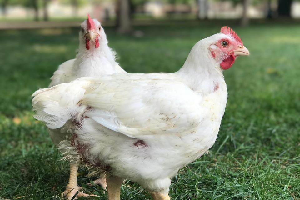 Saved from Slaughter: Chickens Walk on Grass for the First Time!