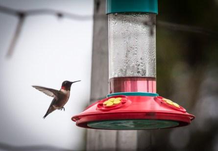 Ruby Throated Hummingbird at Feeder