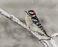 N2-Male Downy Woodpecker-188M for presentation