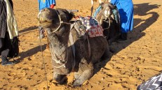 Camels have a reputation of being evil-tempered but ours were well-behaved if aloof.