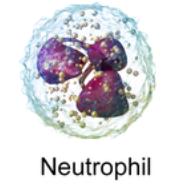 Neutrophil blood cell