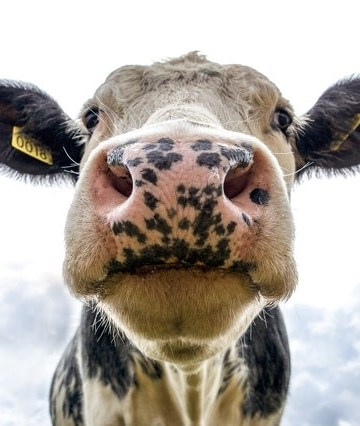 Close up underangle of cow face focusing on nose
