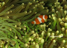 raa ampat anemone fish copy