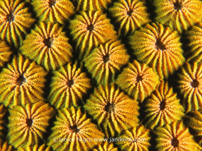 hard coral 6711 copyright