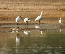 Spoonbills with gharial