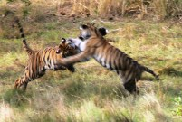 Tiger cubs mid play Bandhavgarh National Park April 2017