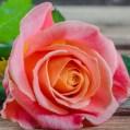 rose-square