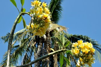 Intensywnie pachnące kwiaty frandżipani.