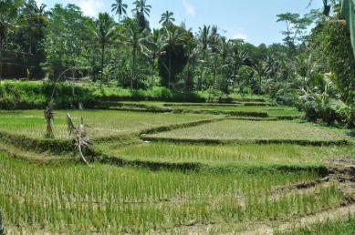 Specjalnego wyboru nie mamy - dookoła same pola ryżowe ;)