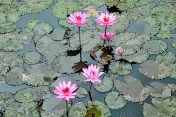 Lotos wyrasta z mulistego dna stawu i wystawia czysty kwiat ku słońcu. Tak samo z czarnych odmętów wyłania się czystość, i idąc dalej: człowiek tak samo może dążyć z odmętów niewiedzy do mądrości i doskonałości.