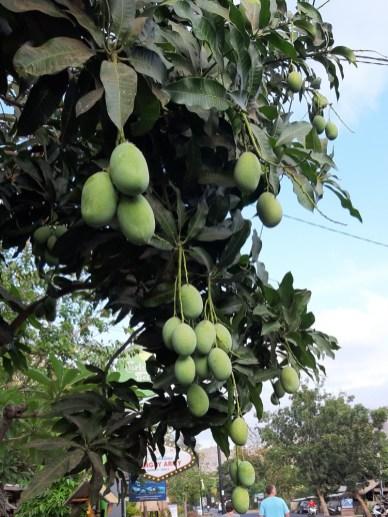 Przydrożne mango.