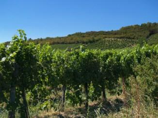 Tokajski region winiarski to łagodny, ciepły klimat i wulkaniczne, urodzajne gleby.