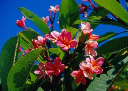 Kącik florystyczny: frandżipani.