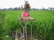 Ofiary złożone na polu ryżowym.