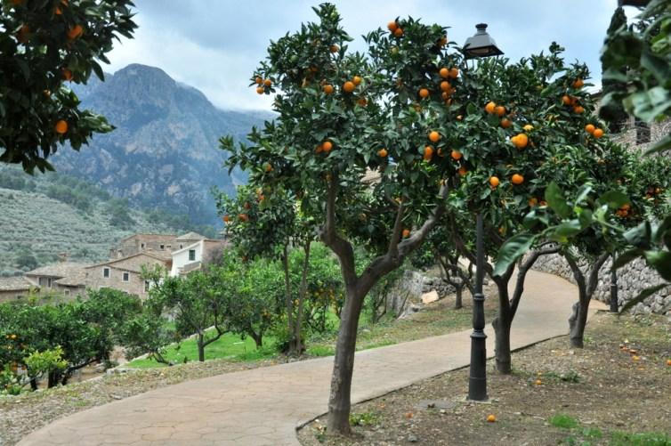Zjeść pomarańcze prosto z drzewa... To nic, że psiary :)