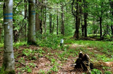 Na Jaworzynce (869m). Nie ma szlaku, można tu dojść trochę grzbietem z Koziego Żebra, trochę działem leśnym (tym zaznaczonym na niebiesko).