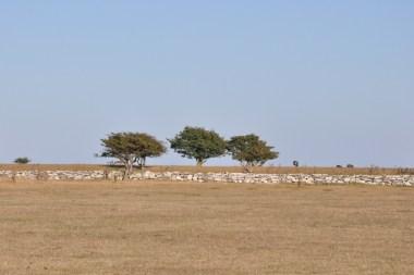 Step, karłowate drzewka, pasące się krowy i murek.