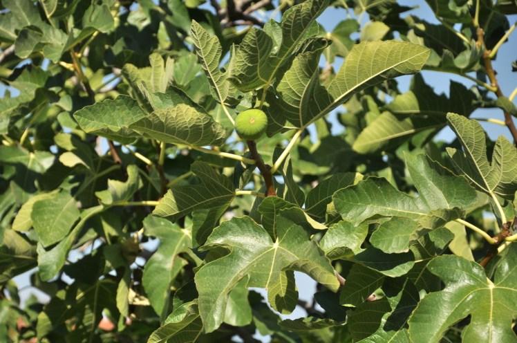 Oprócz wina w Gruzji rośnie sporo fig i...