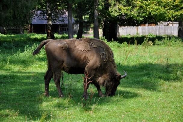 Obowiązek obywatelski zaliczony: rezerwat parchatych żubrów w Białowieży przykładnie wsparty finansowo.