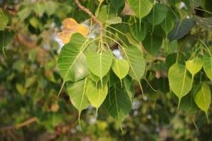 Liście drzewa bodhi, pod takim drzewem Budda medytował i doznał oświecenia.