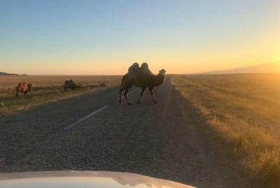 Naprawdę skończyliśmy temat wielbłądów, ale za moment pojawiła się drobna przeszkoda na drodze, bo pasło się kolejne stado.