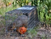 Squirrel and Tomato (8) (1280x978)