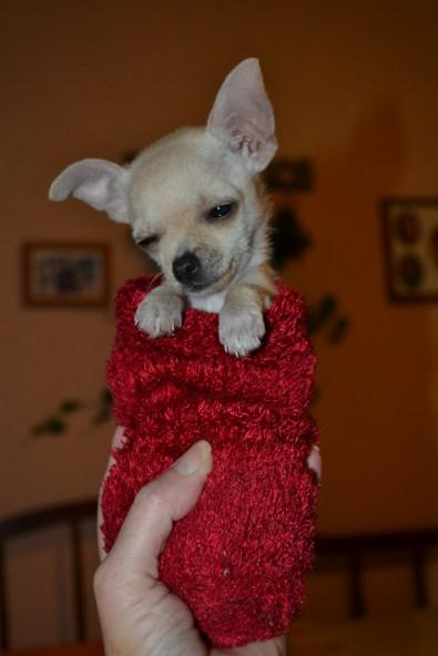 sock puppy (3)