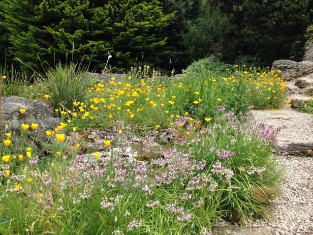 Eschscholtzia, Sisyrinchium and grasses at the Cambridge University Botanic Garden
