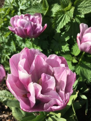 At first glance I thought I'd seen very early peonies. Aren't these tulips magnificient?